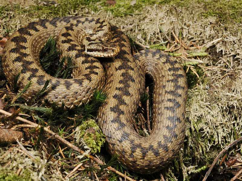Ядовитые змеи -Гадюки