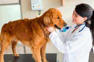 Как кастрируют собак