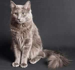 Как выглядит кошка породы нибелунг