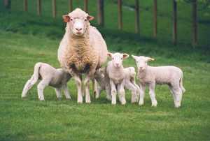 Советы по разведению овец