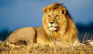 Африканский лев - фото животного