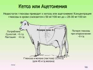 Как проявляется кетоз у коровы