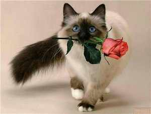 Как выглядят сиамские кошки