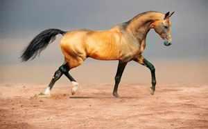 Конь-ахалтекин бежит по песку