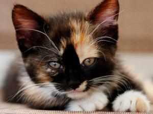 Трехцветные кошки - какие они бывают
