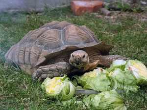 Молодая слоновая черепаха и капуста