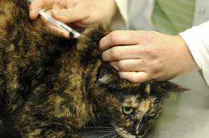Признаки панлейкопении у кошек