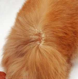 Как лечить кошек от перхоти
