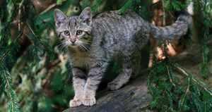 Степной кот - что это за животное