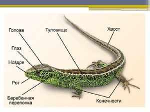 Прыткая ящерица-анатомия