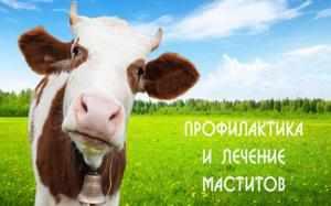 Проявление мастита у коров