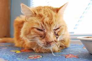 Герпесвирус у кошки