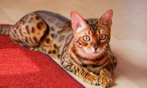 Крупная кошка бенгальской породы