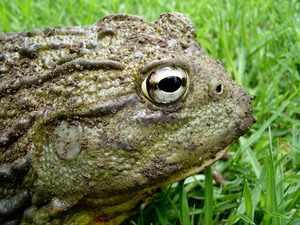 Большая лягушка-голиаф – особенности