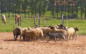 Австралийская пастушья собака сгоняет овец