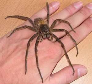 Бразильский Блуждающий Паук-Самые большие пауки в мире