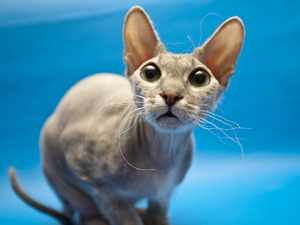 Удивленный котик-сфинкс