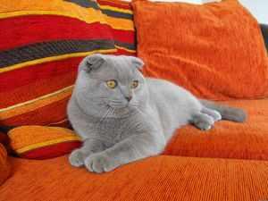 Кошка вислоухая британец
