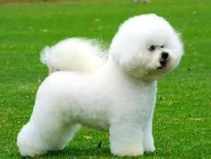 Описание собак породы Бишон Фризе