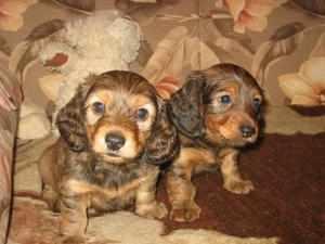 Домашнее воспитание щенков