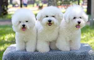 Бишон фризе: характер собаки