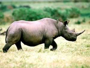 Цвет черного носорога