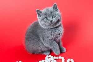 Британские котенки