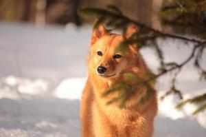 Собака похожая на лису
