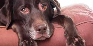Заболевания собак - диагностика микоплазмоза