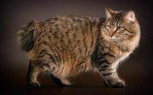 Курильский бобтейл замечательная порода кошек фото