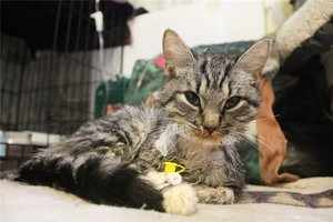 Чем лечить панлейкопению у кошки