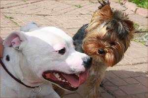 бультерьер и маленькая собачка
