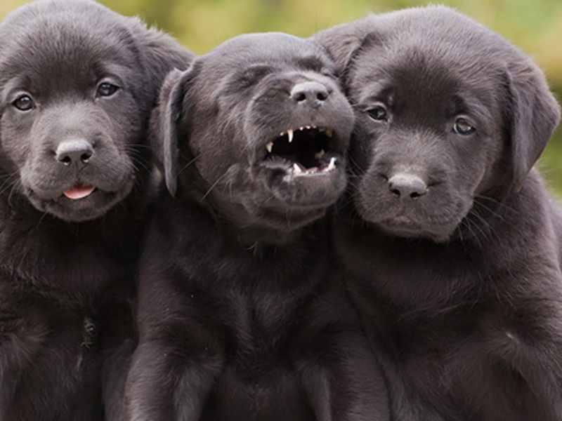 Как определяется порода щенка