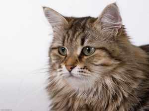 Русская сибирская кошка фото крупным планом