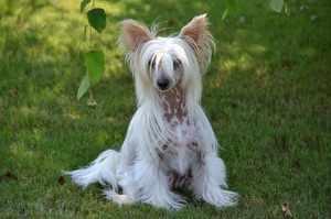 Воспитание собак китайской хохлатой породы