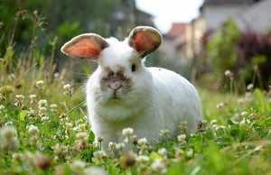 Как ккормить свежей травой кроликов