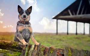 Австралийская пастушья собака - жизнь на ферме