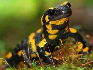 Характеристика огненной саламандры