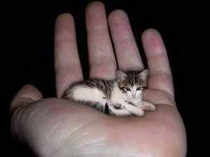 Особенности пород маленьких кошек
