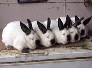 Кролик калифорнийский - что это за порода