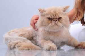 Внешность персидских кошек