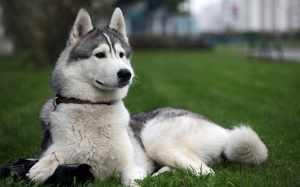 Особенности породы собаки лайка