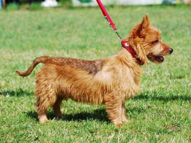 Собаки породы австралийский терьер нетребовательны в уходе