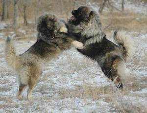 Как правильно выбрать щенка кавказской овчарки