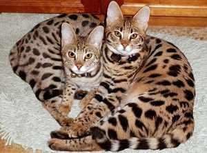 Ласковые котики Саванна