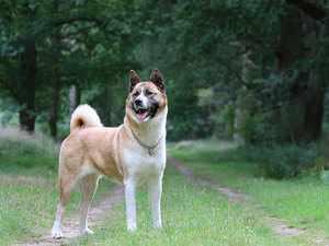 Особая порода собаки американская акита