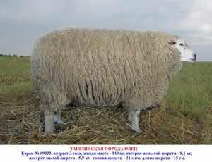 Какие есть породы овец