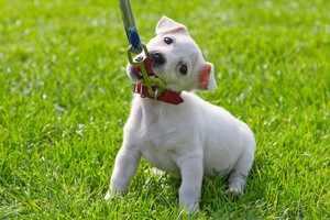 Приучение щенка к поводку