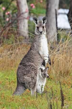 Кенгуру- Описание животного