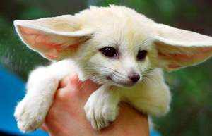 Лиса с большими ушами